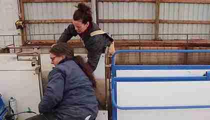 scanning-ewes-for-pregnancy