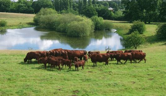 red poll cattle around lake on the euston estate