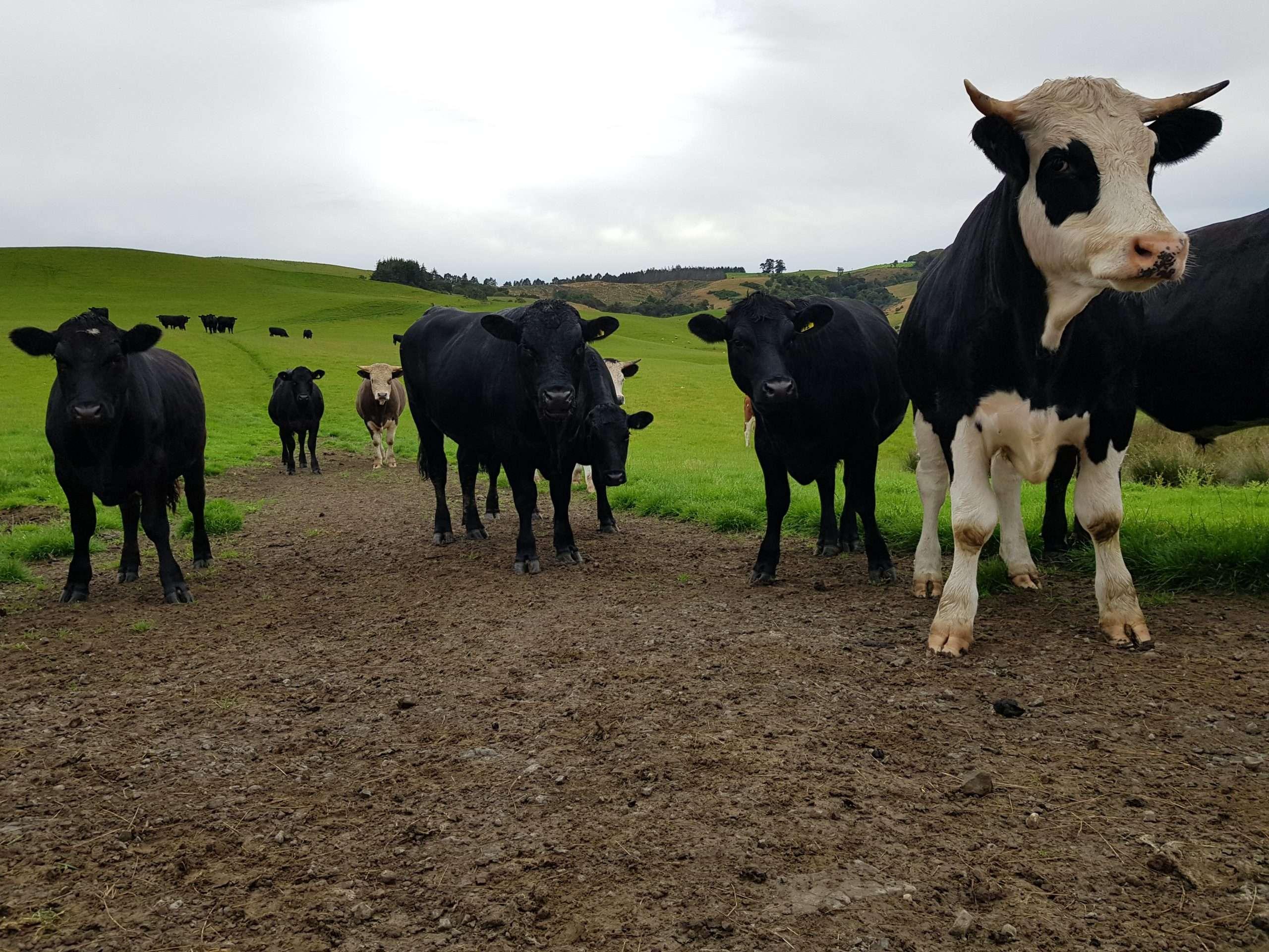 beef cattle in new zealand