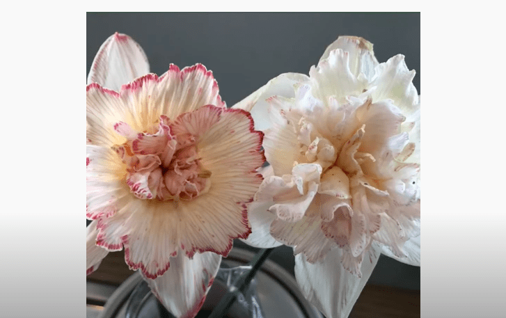 white flowers changing colour to pink from food dye