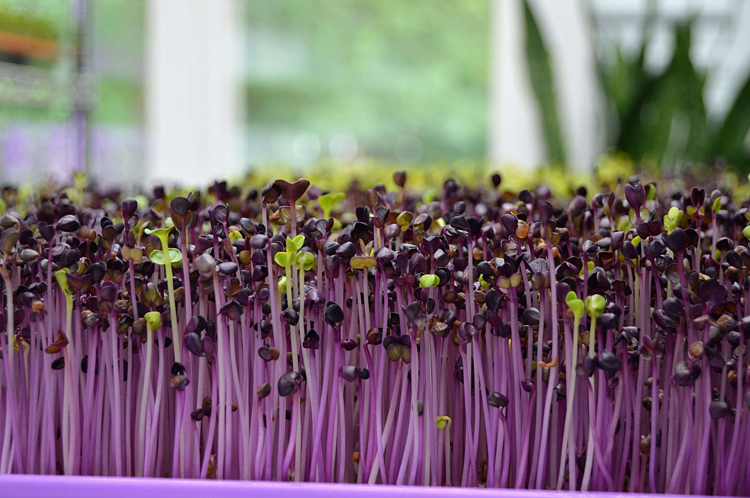 purple microgreens