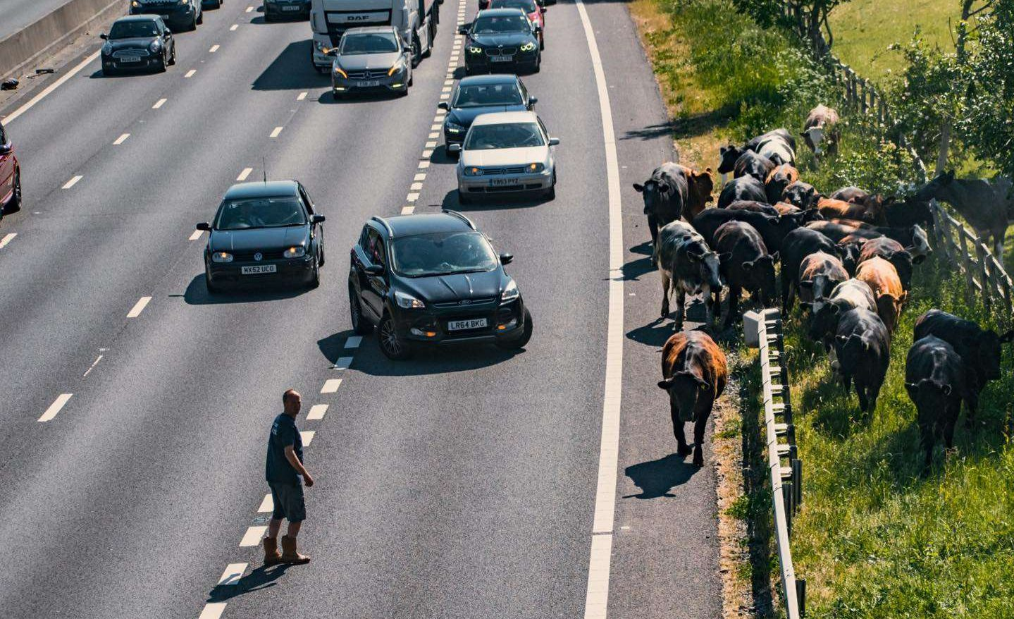Patrick Deeley on the M25 rounding up his cows