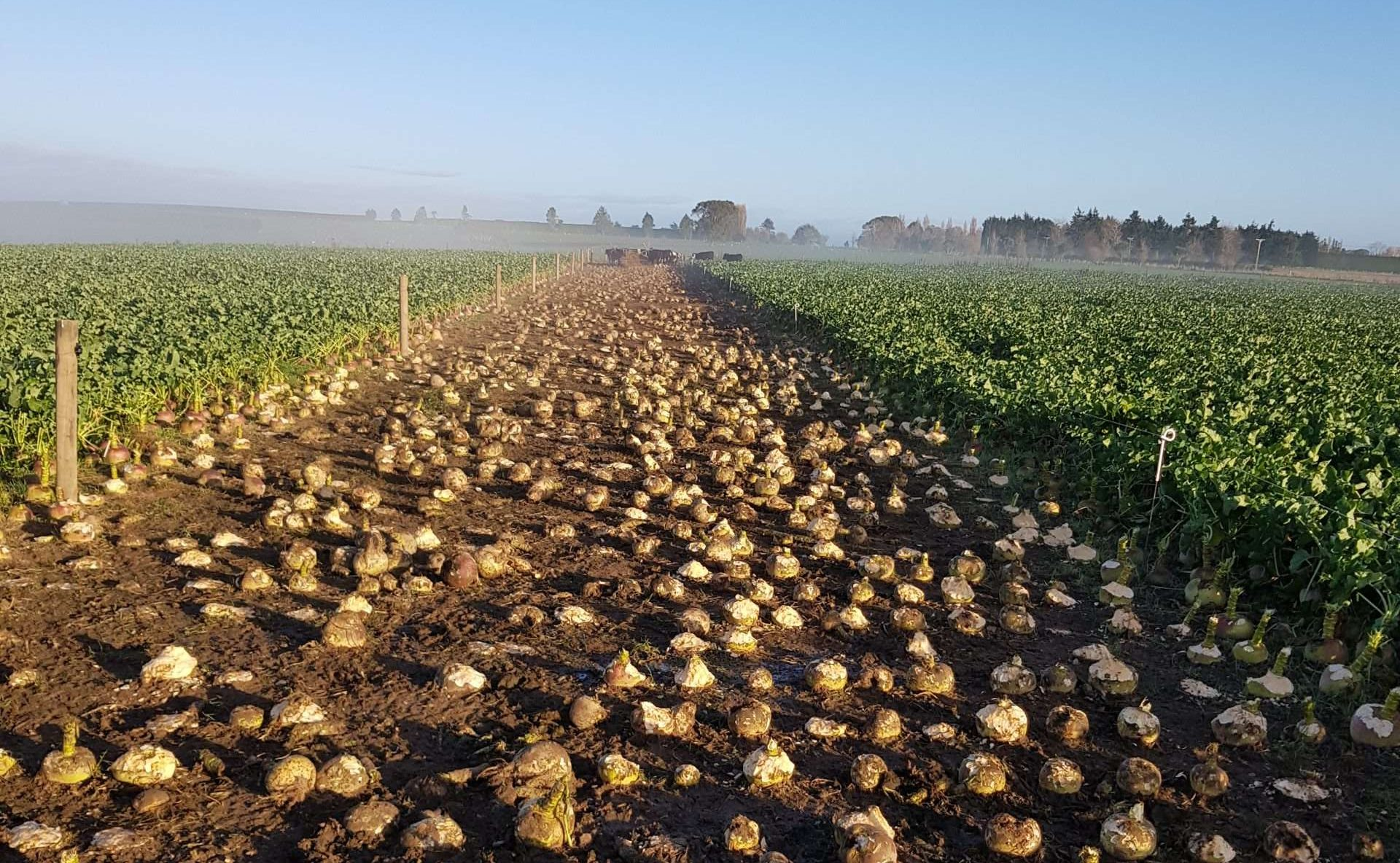 root vegetable crop for sheep feed in NZ