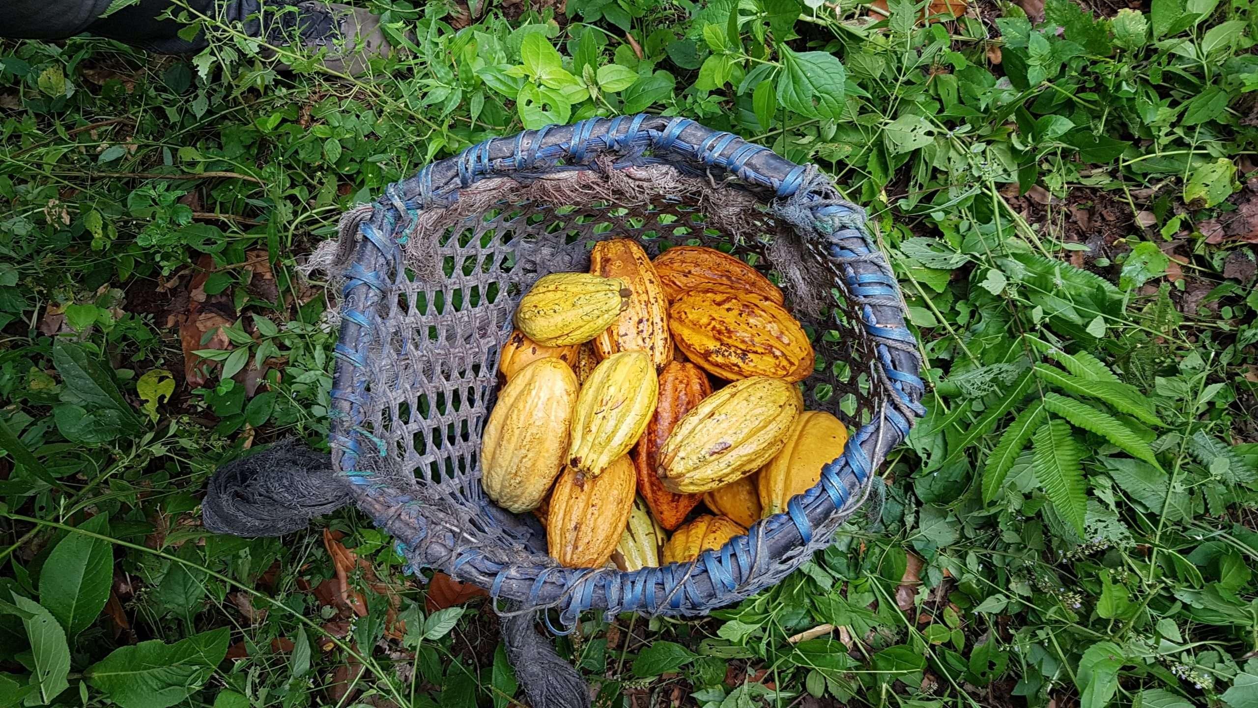 cacao pods in Ecuador