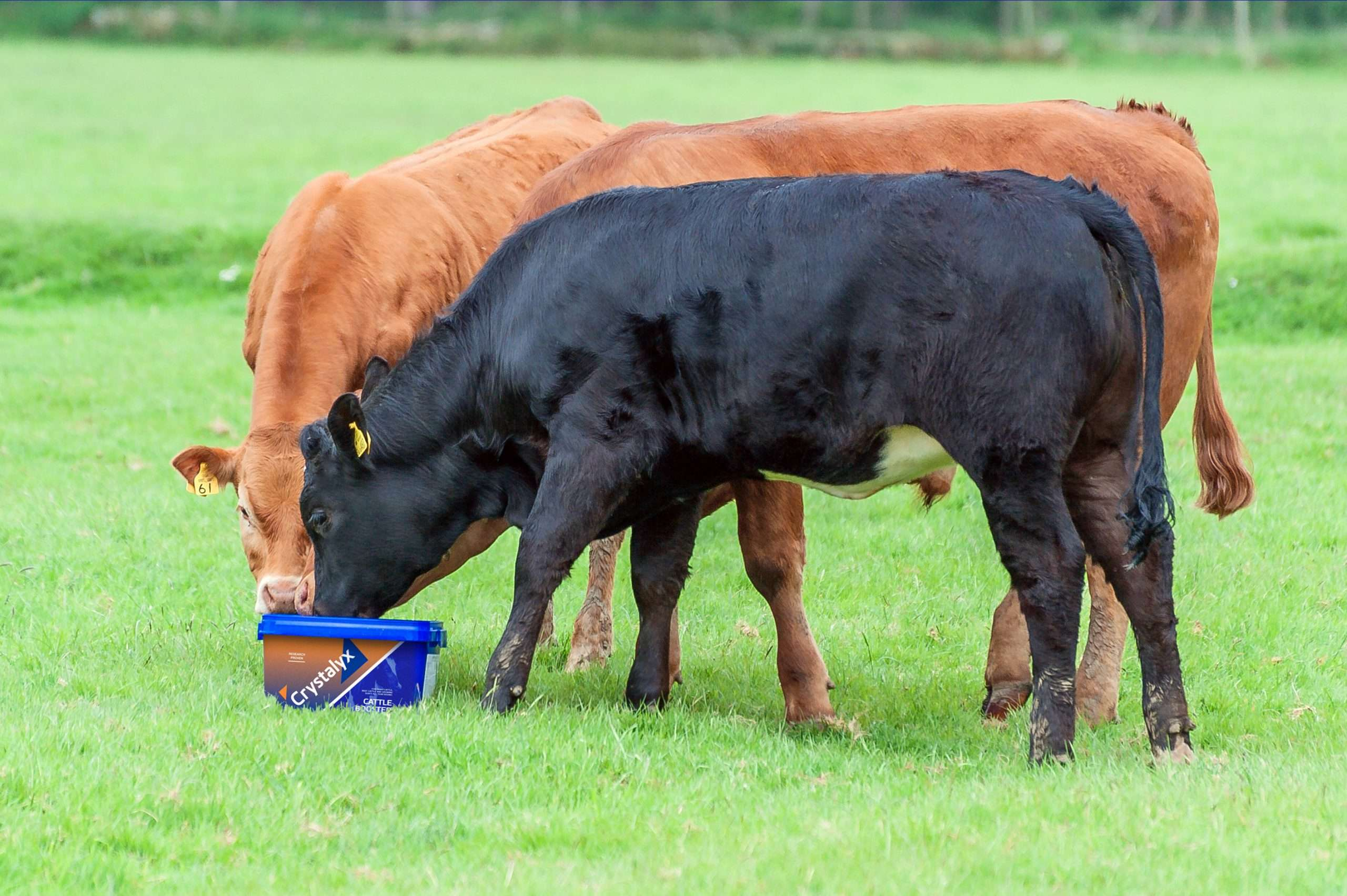 cows with mineral lick