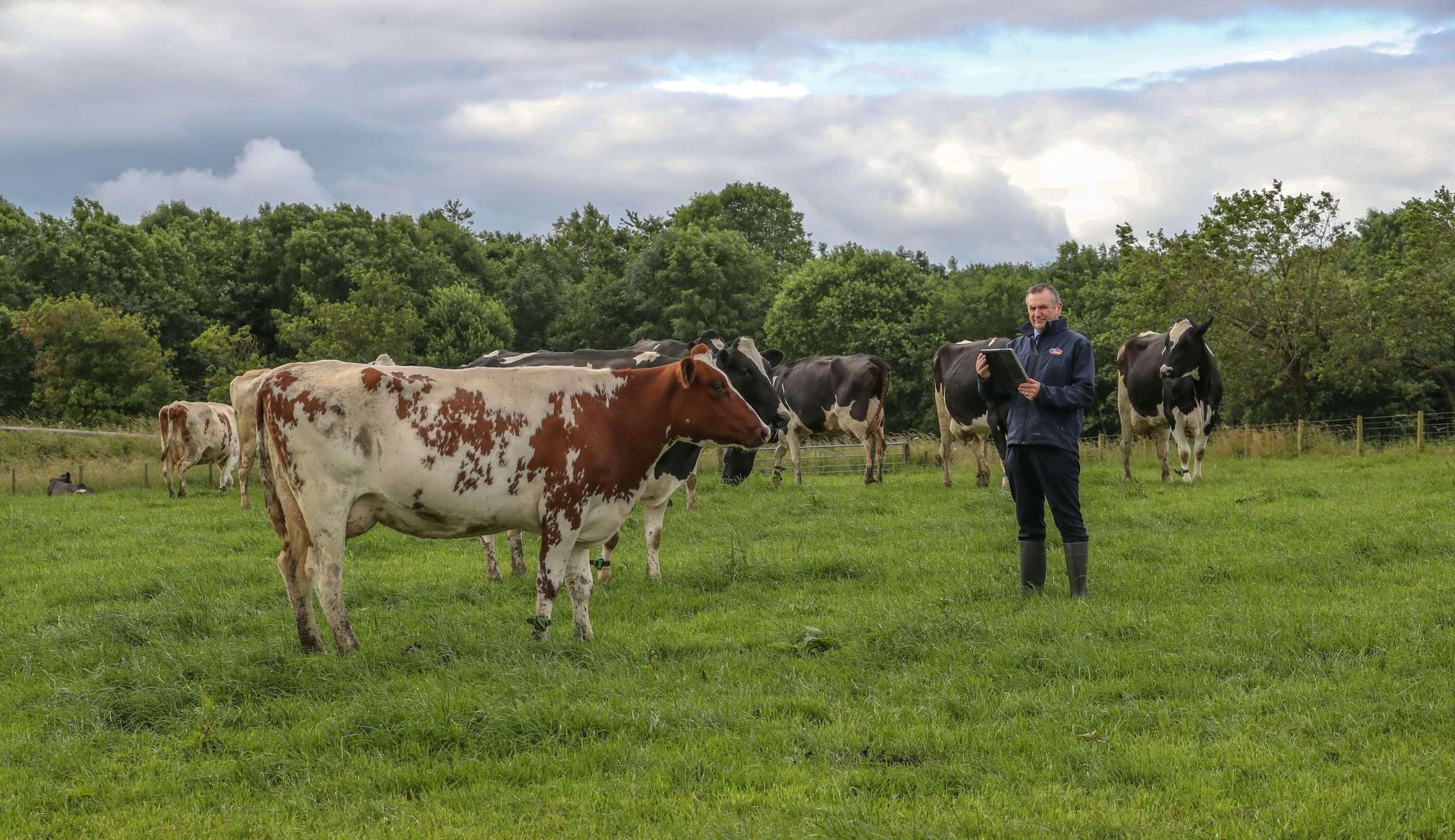dairy cow in field